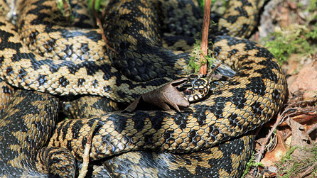 An adder basking in the sun at Parc Slip by Steve Gunter.