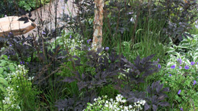Bbc rhs show tatton park summer plant combination ideas for Thalictrum rochebrunianum rhs