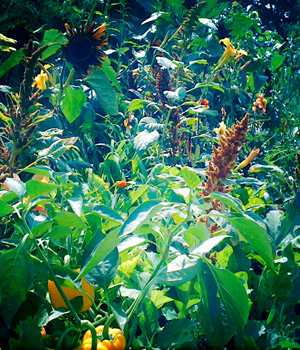 Yellow peppers and Amaranth at the RHS Edible Garden