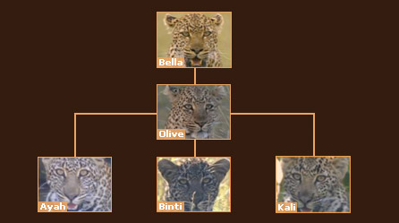 Leopard family tree
