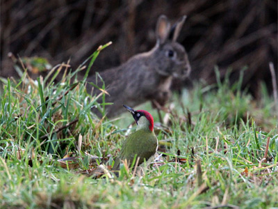 A rabbit and green woodpecker by Clive Davies.