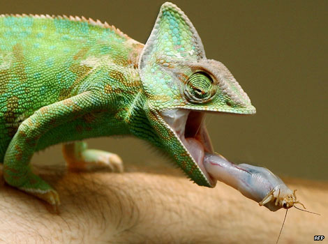 A chameleon extending its tongue to catch a cricket