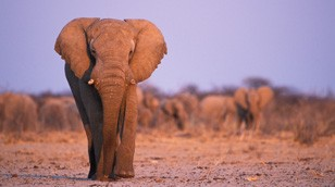 African Elephant from the Nature Picture Library