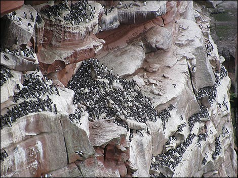 Seabirds at St Bees Head
