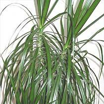 Dracaena fragrans  Plant Finder