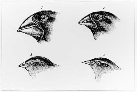 Darwin's drawings of the different heads and beaks he found among the finches on the Galapagos Islands
