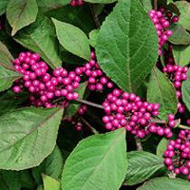 Bbc Gardening Plant Finder Beauty Berry
