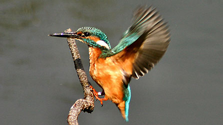 Kingfisher at Forest Farm. Image: Kelvin Dean