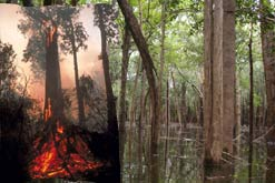 Burning peat forest in Borneo, and Igapó in Brazil