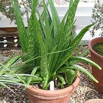 Bbc Gardening Plant Finder Aloe