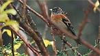 Brambling. Gale Jolly