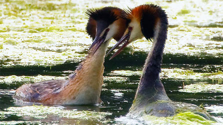 Great crested grebe in a courtship display by Anthony Cronin