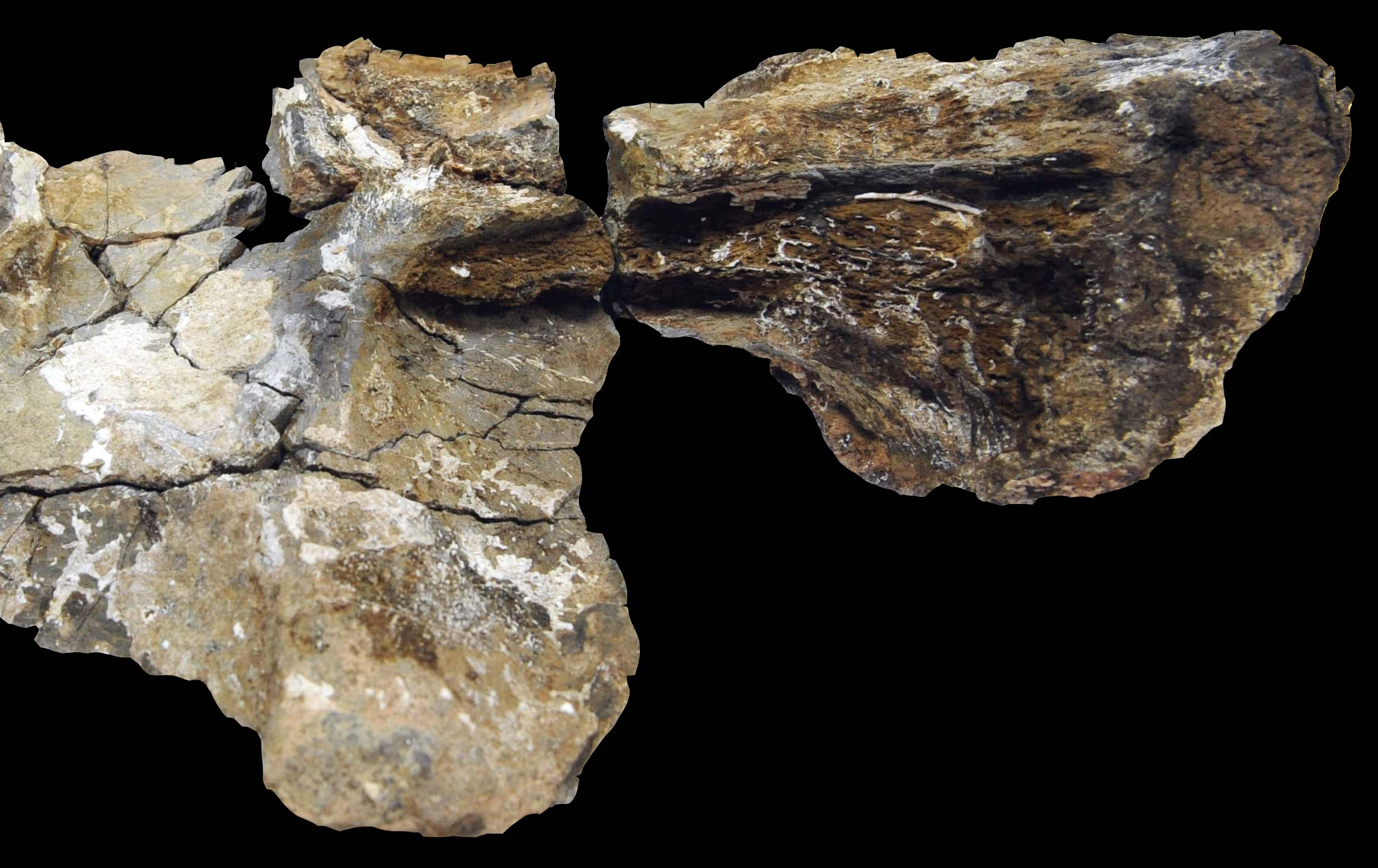 Tooth-marks in sauropod bone (image: Prof In Sung Paik)