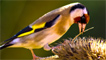 A goldfinch searching for food by Olle Jones