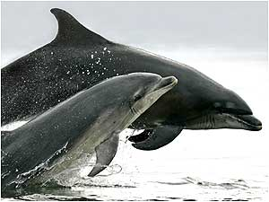 Moray Firth (Image: Dolphins  c/o Charlie Phillips)