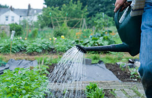 Watering vegetables