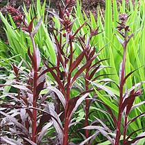 Bbc Gardening Plant Finder Cardinal Flower