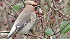 Waxwing. Photo: Ken Bray