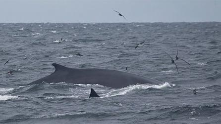 Fin whale off the Welsh coast. Image by Richard Crossen