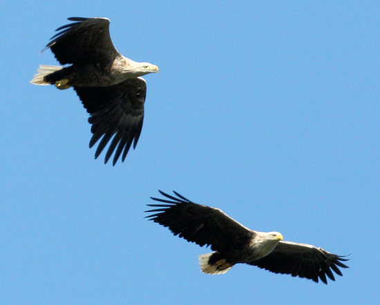 Pair of white-tailed sea eagles by Iain Erskine