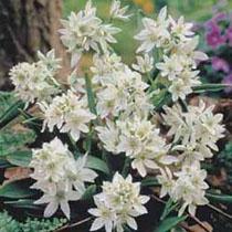 Bbc Gardening Plant Finder Star Of Bethlehem