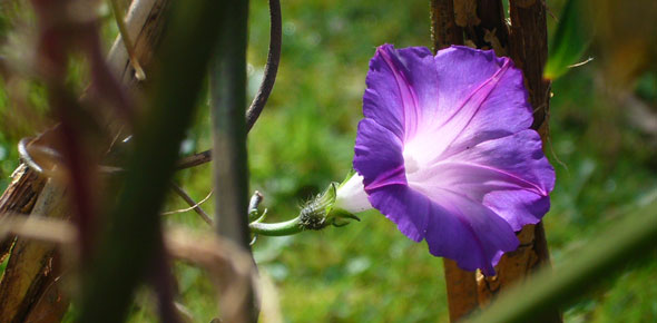 Ipomea tricolor - Morning Glory vine