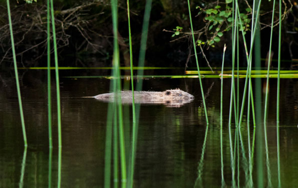 Beaver swimming through reeds reflected in water copyright Scottish Wildlife Trust