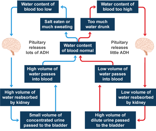 Bbc intermediate 2 bitesize biology control of the internal water volume regulation in the body ccuart Image collections