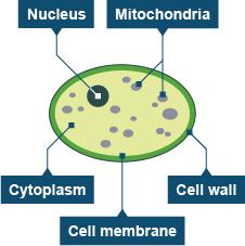 BBC - GCSE Bitesize: Bacteria and yeast