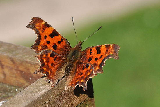 Comma butterfly by