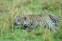 Leopard in the Mara 1