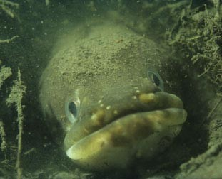 European Eel from the Nature Picture Library