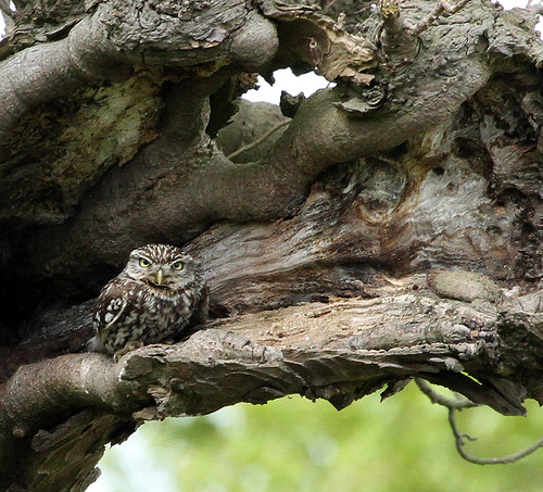 little owl by stacy woolhouse