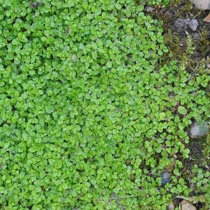how to get rid of baby tears ground cover