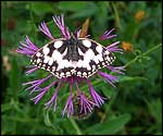 Marbled white butterfly. Photo: Jerry Burman
