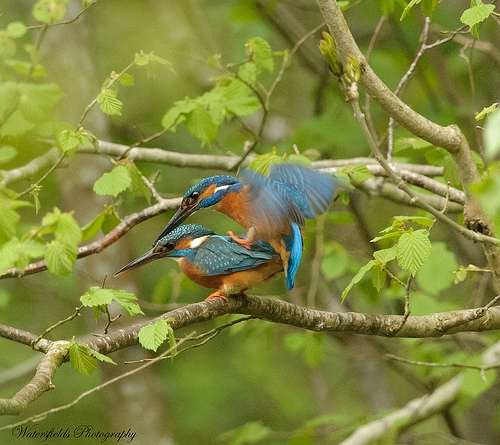 kingfishers mating by simon h 2159