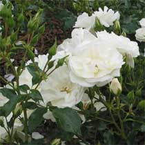Bbc gardening plant finder rose rosa flower carpet white mightylinksfo