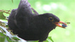 Male blackbird feeding on berries.