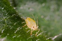 Adult wingless peach potato aphid