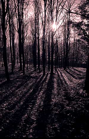 A Westering sun on a winter day casts shadows on the forest bed