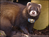 Polecat wearing a radio collar [pic: Rob Scrivens]