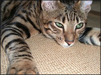 A golden Toyger