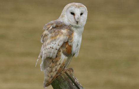 BBC - Suffolk - Nature - GALLERY/HEAR: Tawny owl survey