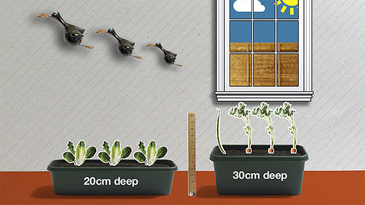 A 20cm deep windowbox with salad leaves in it, and a 30cm deep windowbox with carrots.