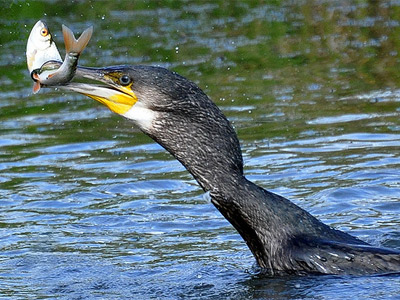 The cormorant and the roach by Tony Llewellyn