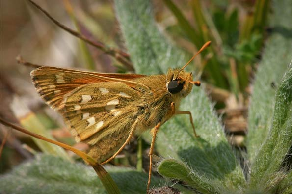 Silver-spotted skipper by David Longshaw