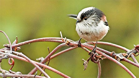 long_tailed_tit_andrew_davi.jpg