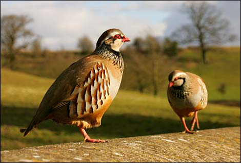 A pair of red legged partridges - Dave Stening