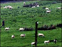 Há 54 milhões de ovelhas e vacas na Nova Zelândia