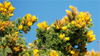 Gorse bush on Bardsey